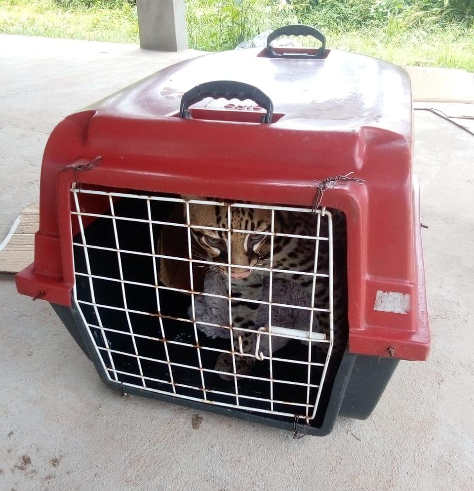 BRASIL: Mulher criava jaguatirica pensando se tratar de animal doméstico no Pará